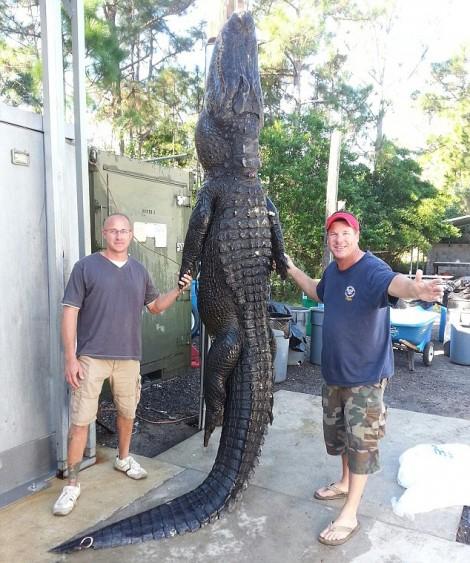 enorme-alligator-Floride-e1414521497708